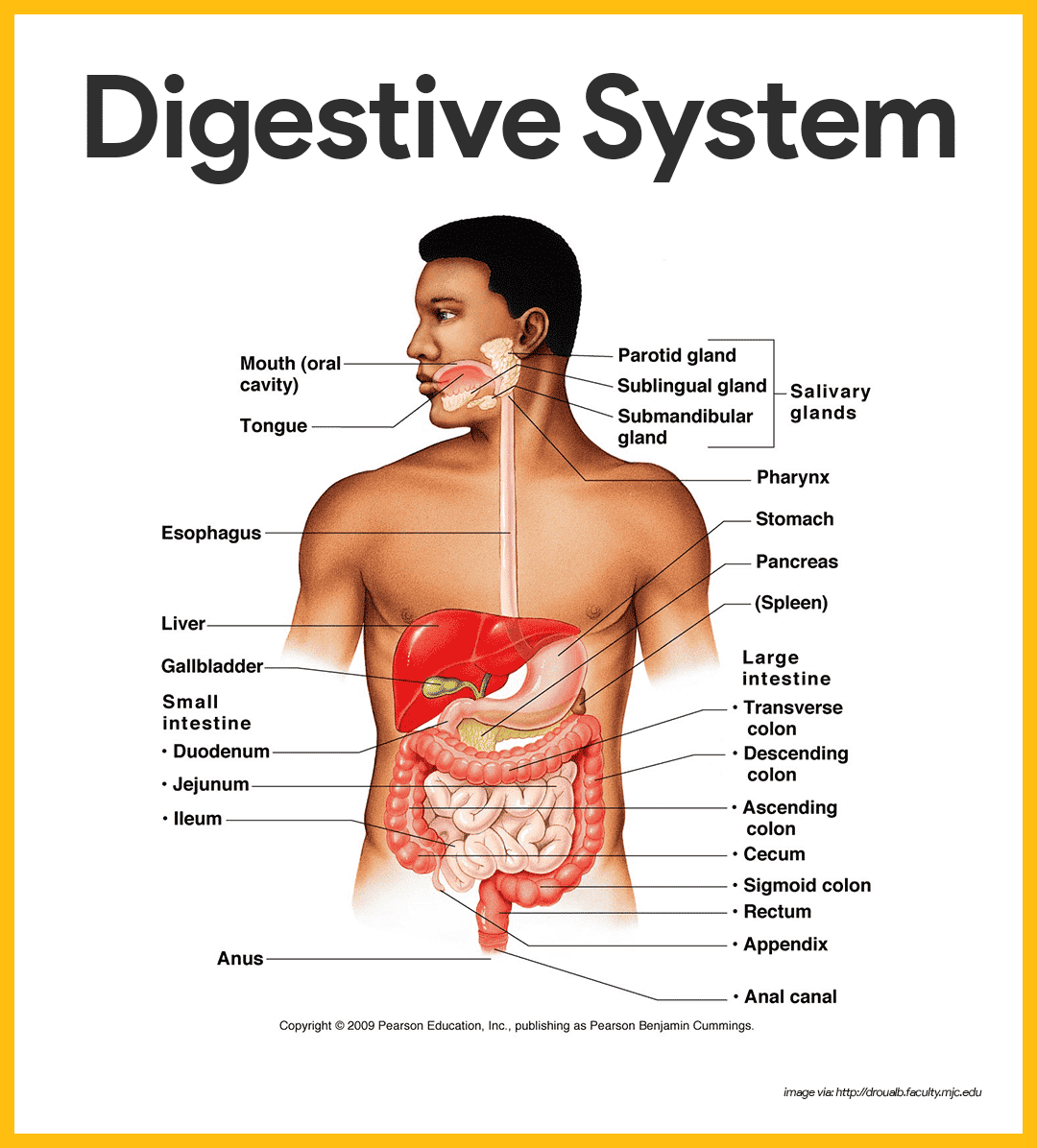 hight resolution of anatomy of the digestive system