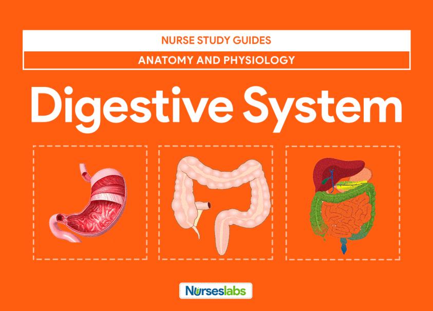 Digestive System Anatomy and Physiology - Nurseslabs
