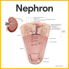 Nephron Diagram From A Textbook Actuator Wiring Anatomy And Physiology Coloring Workbook Urinary System