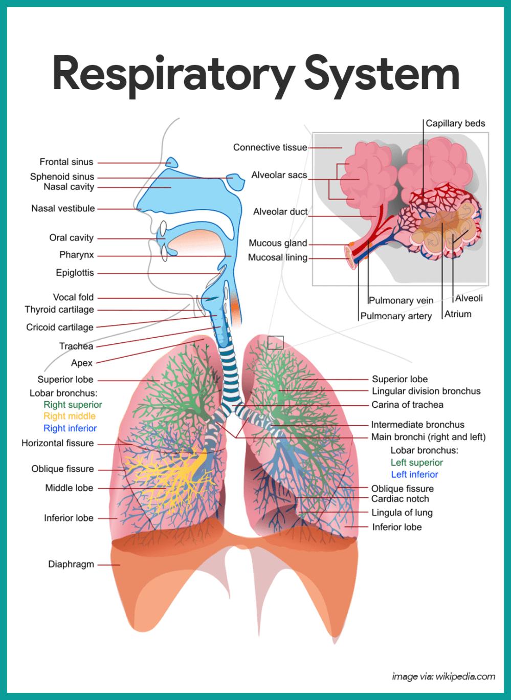 medium resolution of respiratory system respiratory system anatomy and physiology