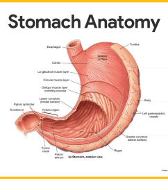different regions of the stomach have been named and they include the following  [ 1419 x 1164 Pixel ]