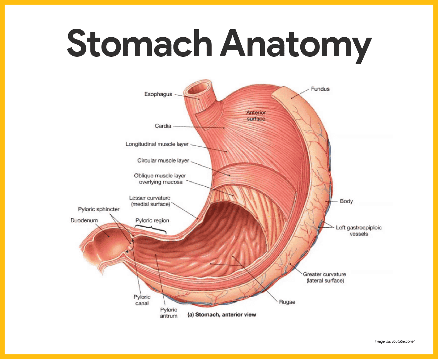 hight resolution of different regions of the stomach have been named and they include the following