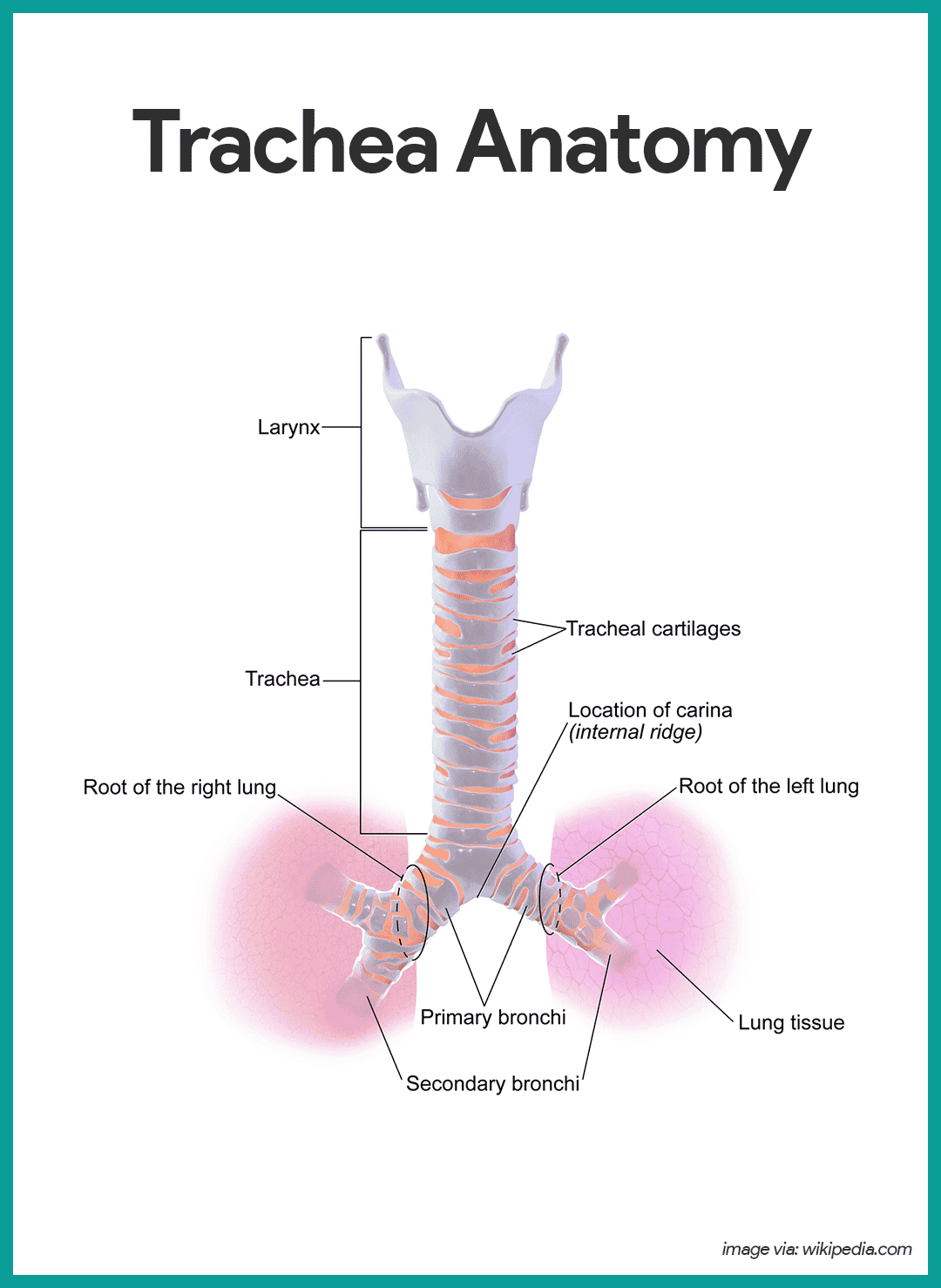 hight resolution of trachea anatomy respiratory system anatomy and physiology