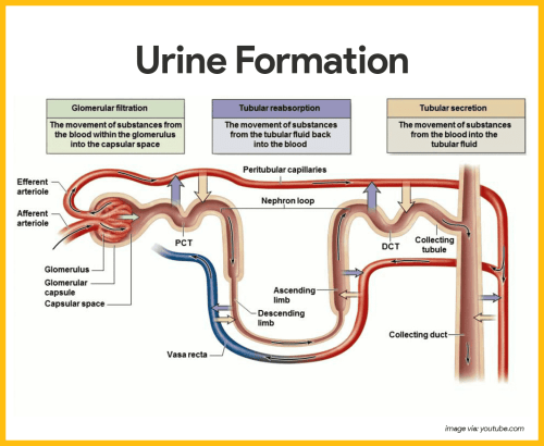 small resolution of physiology of the urinary system