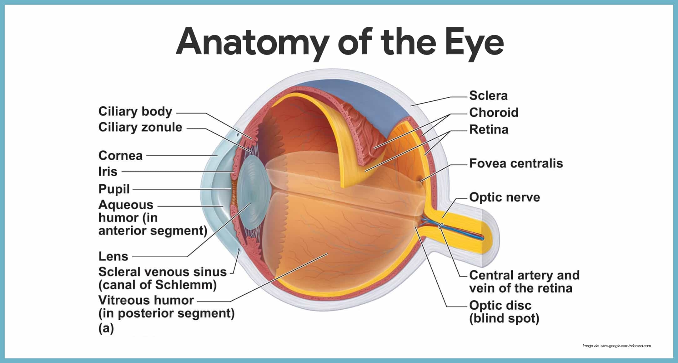 blind eye diagram plot graphic organizer worksheet special senses anatomy and physiology nurseslabs