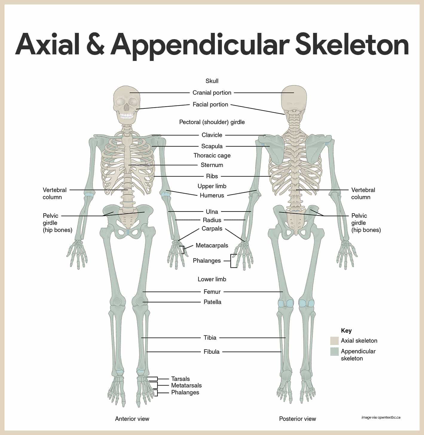 hight resolution of skeletal system anatomy and physiology u2022 nurseslabs compact bone osteon diagram