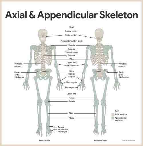 small resolution of skeletal system anatomy and physiology u2022 nurseslabs compact bone osteon diagram