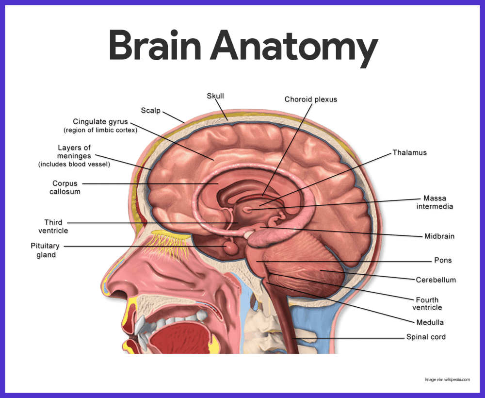 medium resolution of because the brain is the largest and most complex mass of nervous tissue in the body it is commonly discussed in terms of its four major regions cerebral