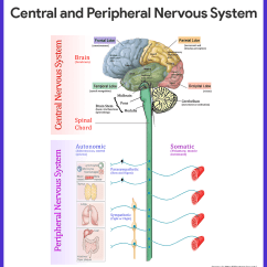 Central Nervous System Labeled Diagram Reversing Contactor Wiring Anatomy And Physiology Nurseslabs