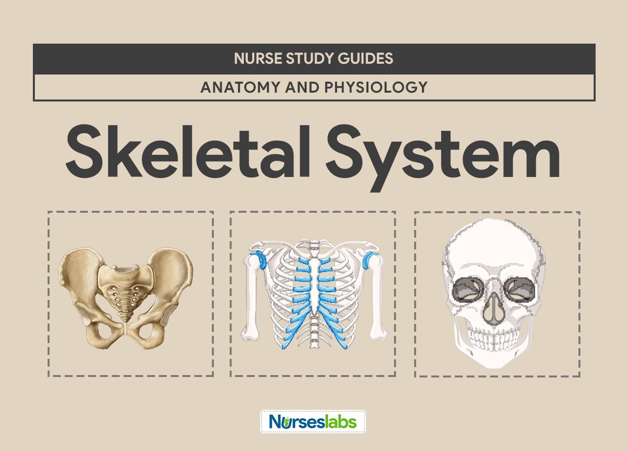 Skeletal System Lab Worksheet