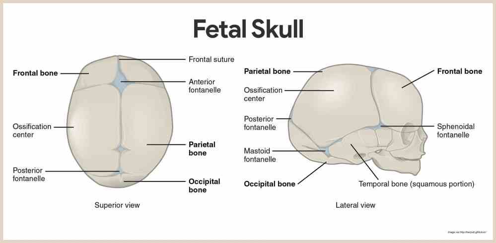 medium resolution of fetal skull skeletal system anatomy and physiology for nurses