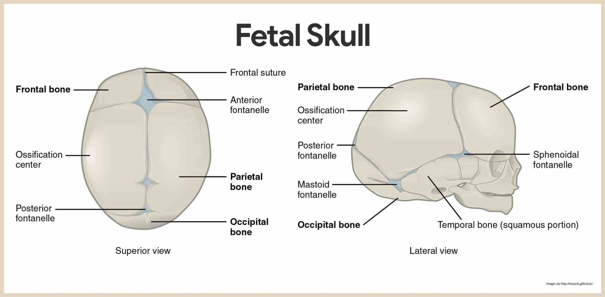 hight resolution of fetal skull skeletal system anatomy and physiology for nurses