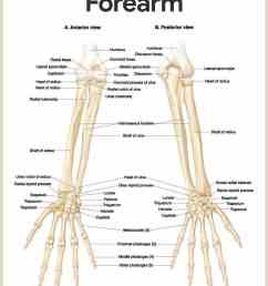 forearm anatomy skeletal system anatomy and physiology for nurses [ 1419 x 1777 Pixel ]