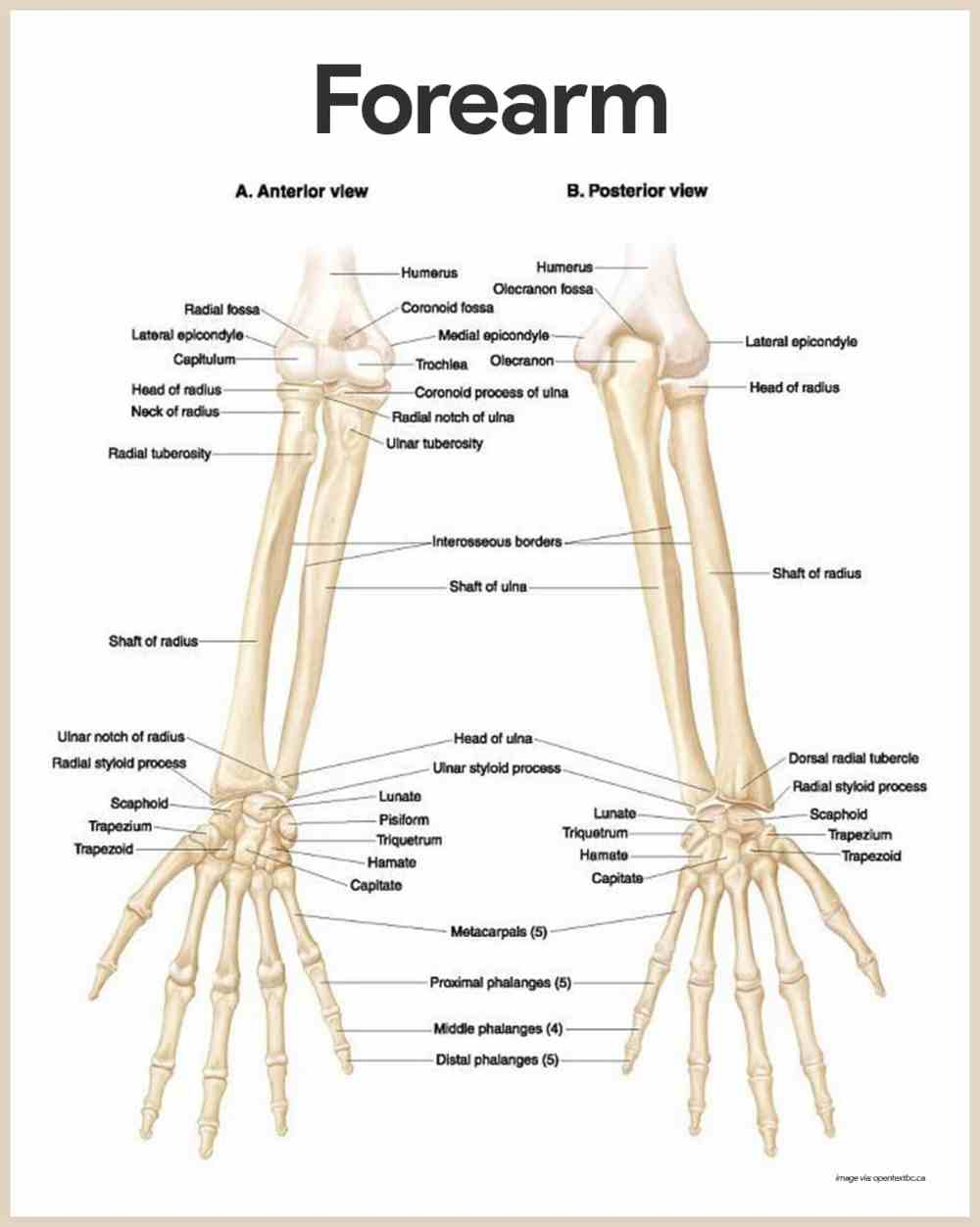 medium resolution of forearm anatomy skeletal system anatomy and physiology for nurses