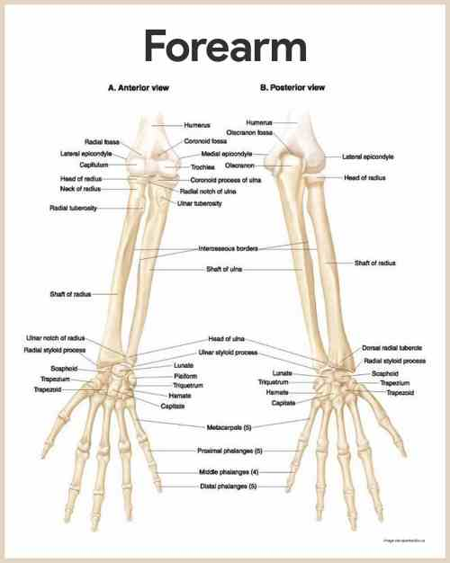 small resolution of forearm anatomy skeletal system anatomy and physiology for nurses
