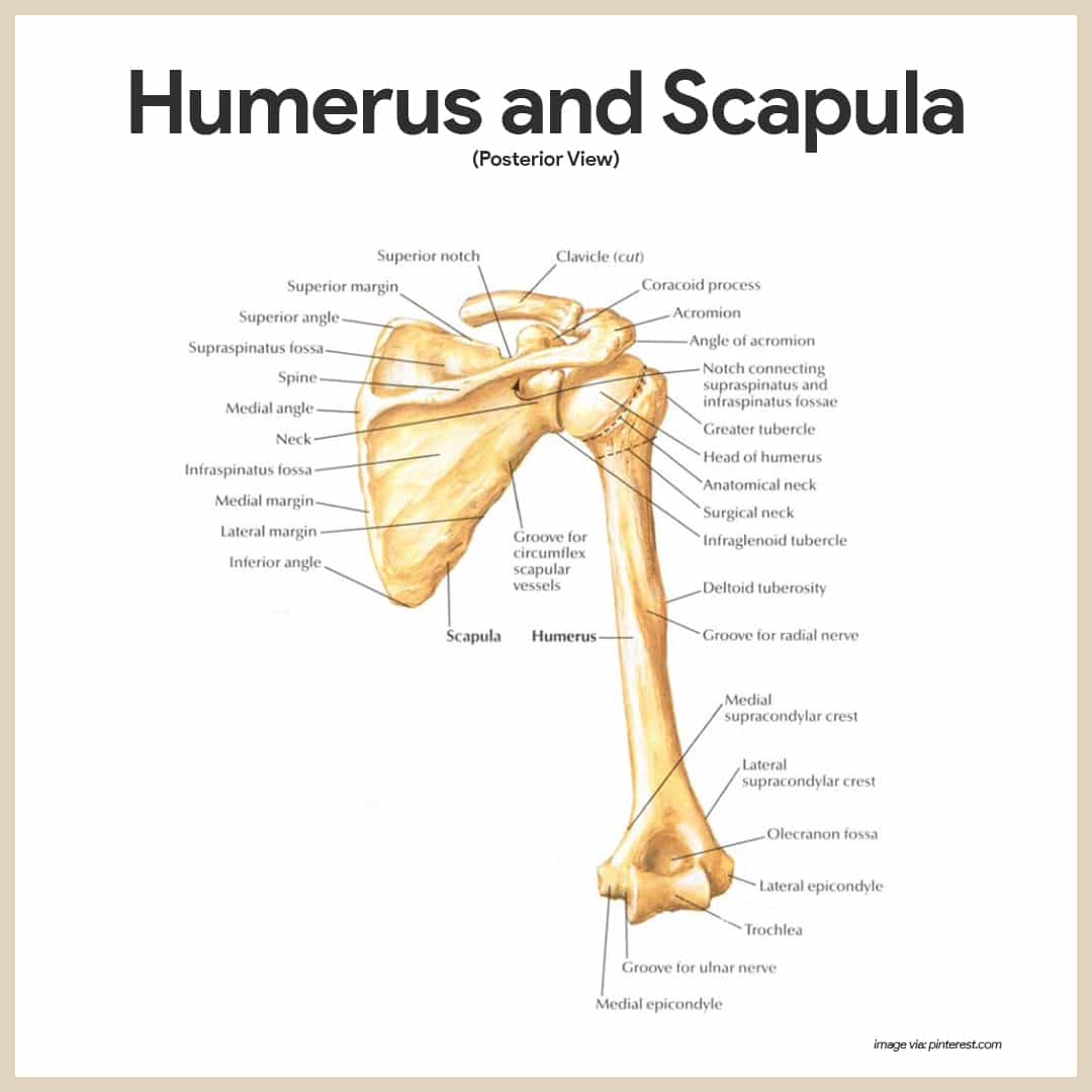 clavicle and scapula diagram autopage wiring skeletal system anatomy physiology nurseslabs