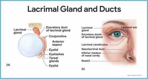 small resolution of diagram of eye nose wiring diagram expert anatomy of eye and nose diagram of eye nose