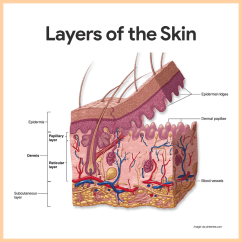 Skin Layers Diagram Labeled Simple Painless Wiring Harness Integumentary System Anatomy And Physiology Nurseslabs