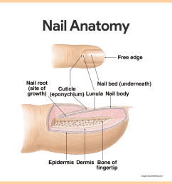 each nail has a free edge a body visible attached portion and a root embedded in the skin  [ 1080 x 1080 Pixel ]
