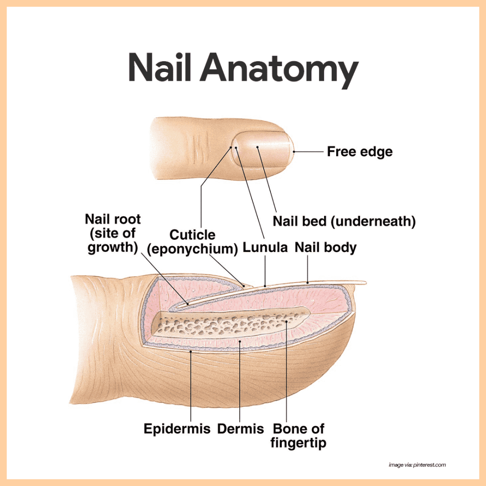 medium resolution of each nail has a free edge a body visible attached portion and a root embedded in the skin