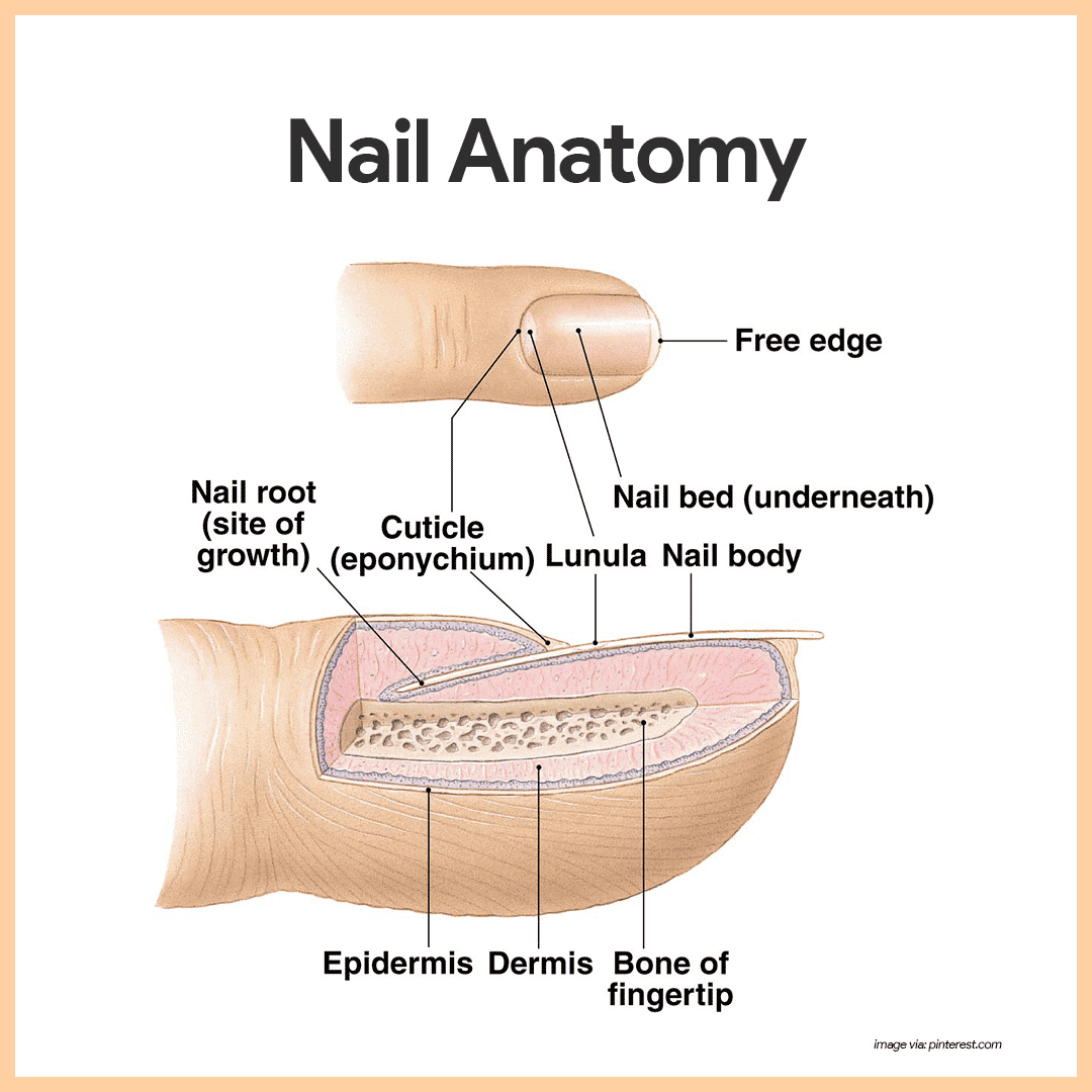 hight resolution of each nail has a free edge a body visible attached portion and a root embedded in the skin