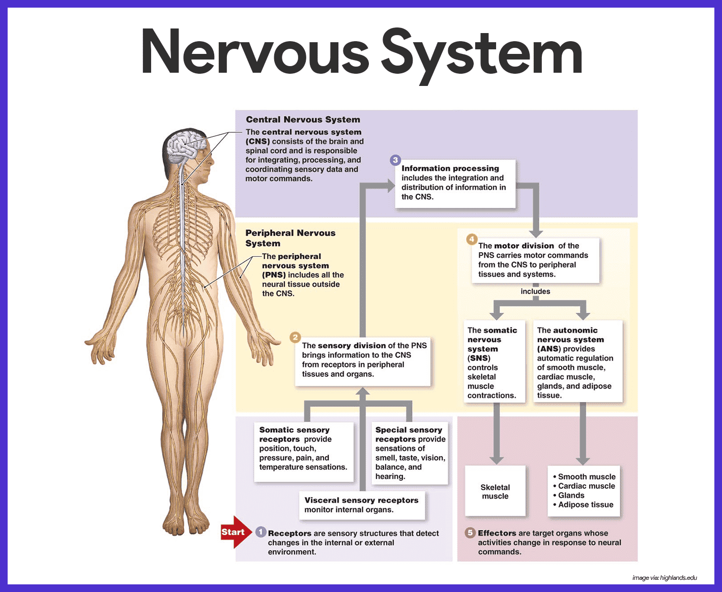 Anatomy And Physiology Research Paper Example Peripheral Nervous System