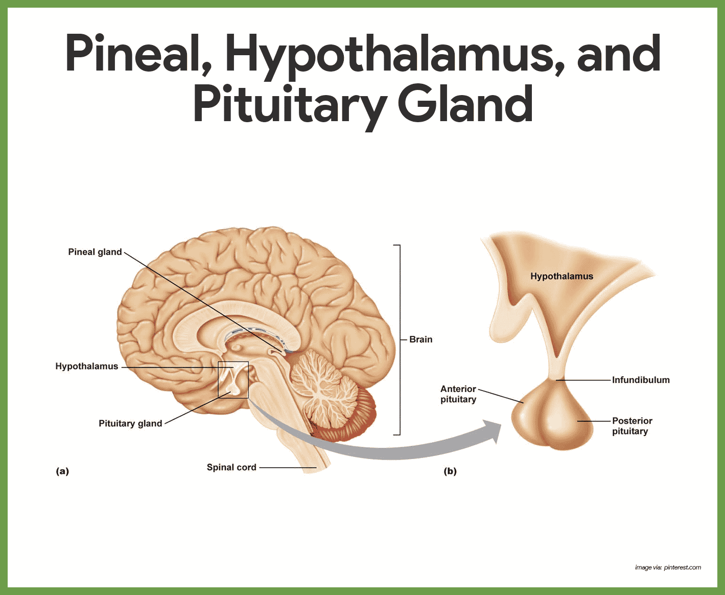 hight resolution of hormones of the anterior pituitary