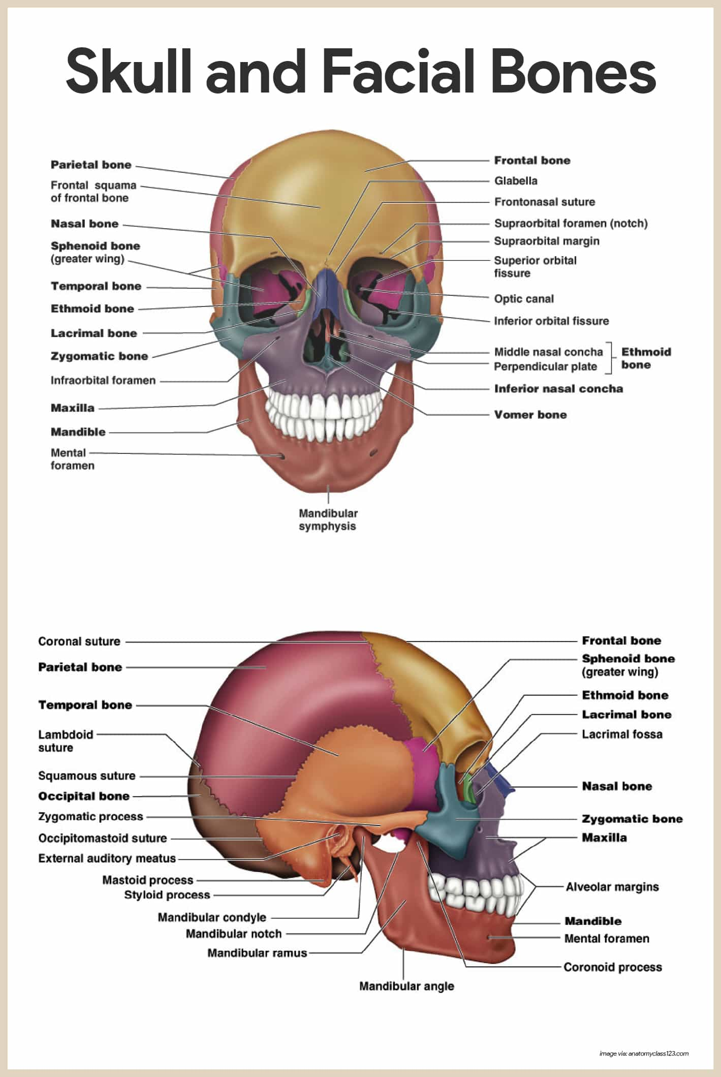 hight resolution of skull and facial bones skeletal system anatomy and physiology for nurses