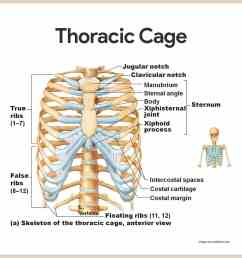 thoracic cage skeletal system anatomy and physiology for nurses [ 1080 x 1080 Pixel ]