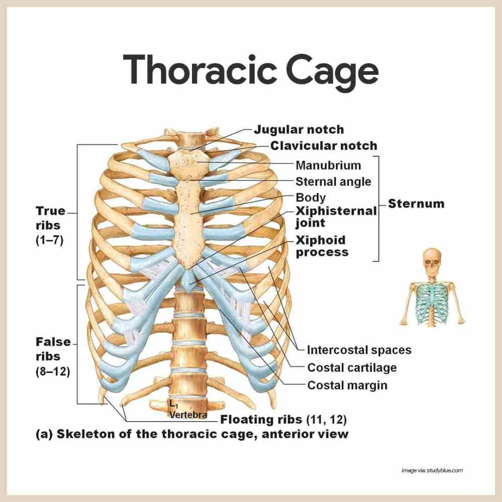 medium resolution of thoracic cage skeletal system anatomy and physiology for nurses