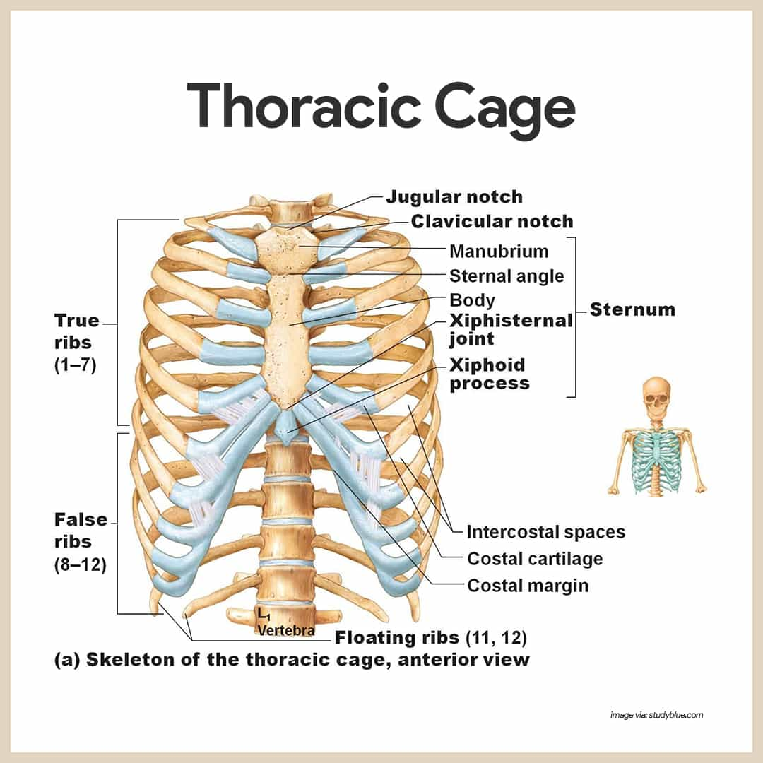 hight resolution of thoracic cage skeletal system anatomy and physiology for nurses