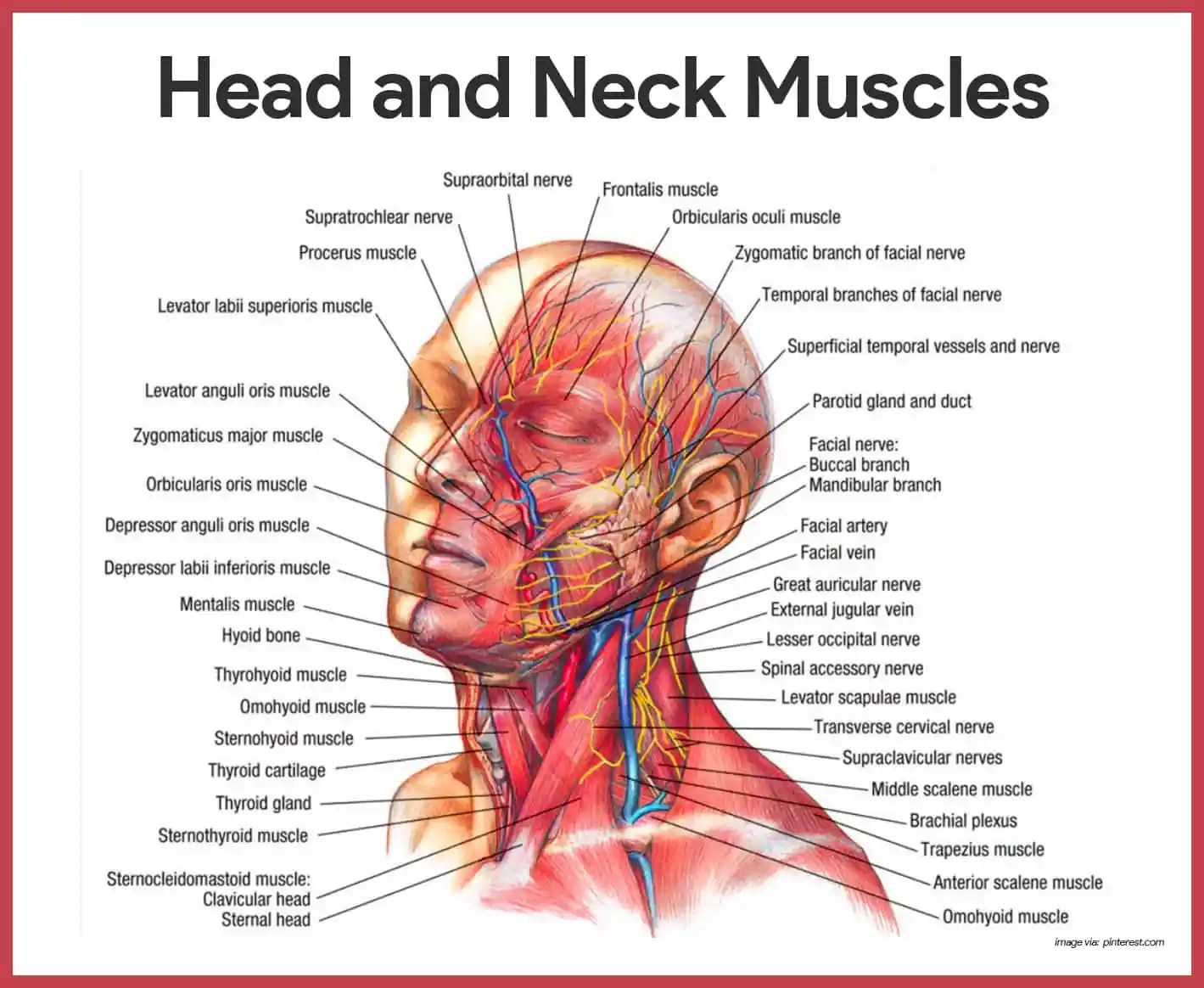 hight resolution of head and neck muscles muscular system