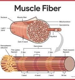 muscle fibers muscular system [ 1419 x 1164 Pixel ]
