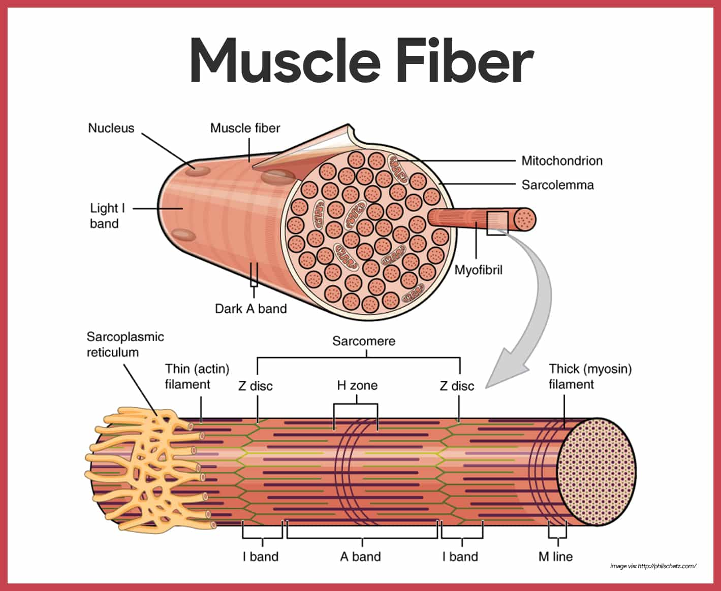 hight resolution of muscle fibers muscular system