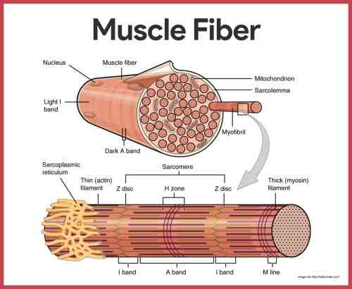 small resolution of muscle fibers muscular system