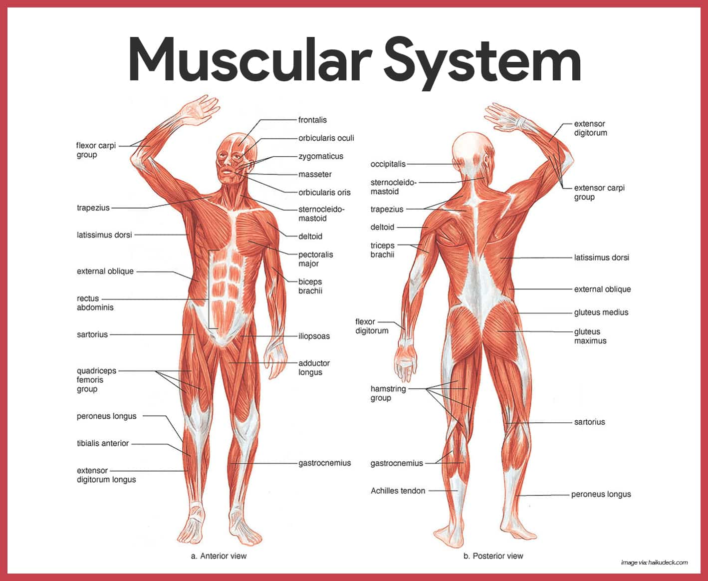 major muscle diagram to label auto transfer switch wiring muscular system anatomy and physiology nurseslabs