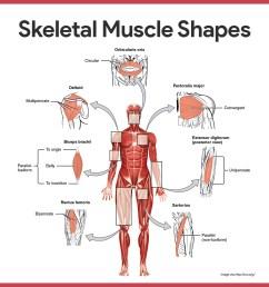 naming skeletal muscles [ 1080 x 1080 Pixel ]