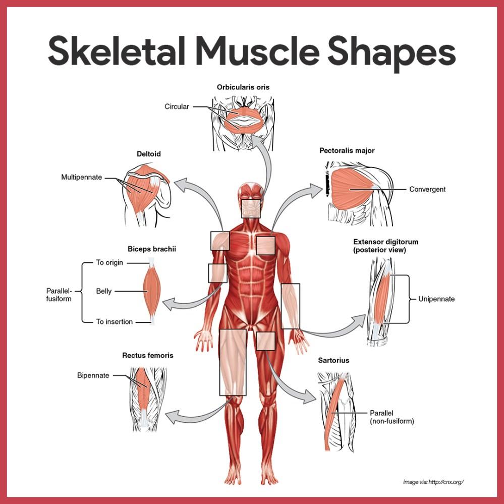medium resolution of naming skeletal muscles