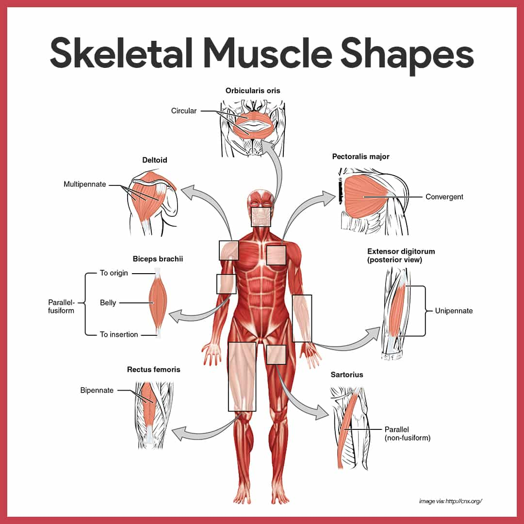 hight resolution of naming skeletal muscles