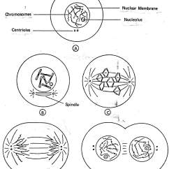 Animal Cell Mitosis Diagram Marine Dual Battery System Wiring Centrioles Which Help In Division Plant Cells Do Not