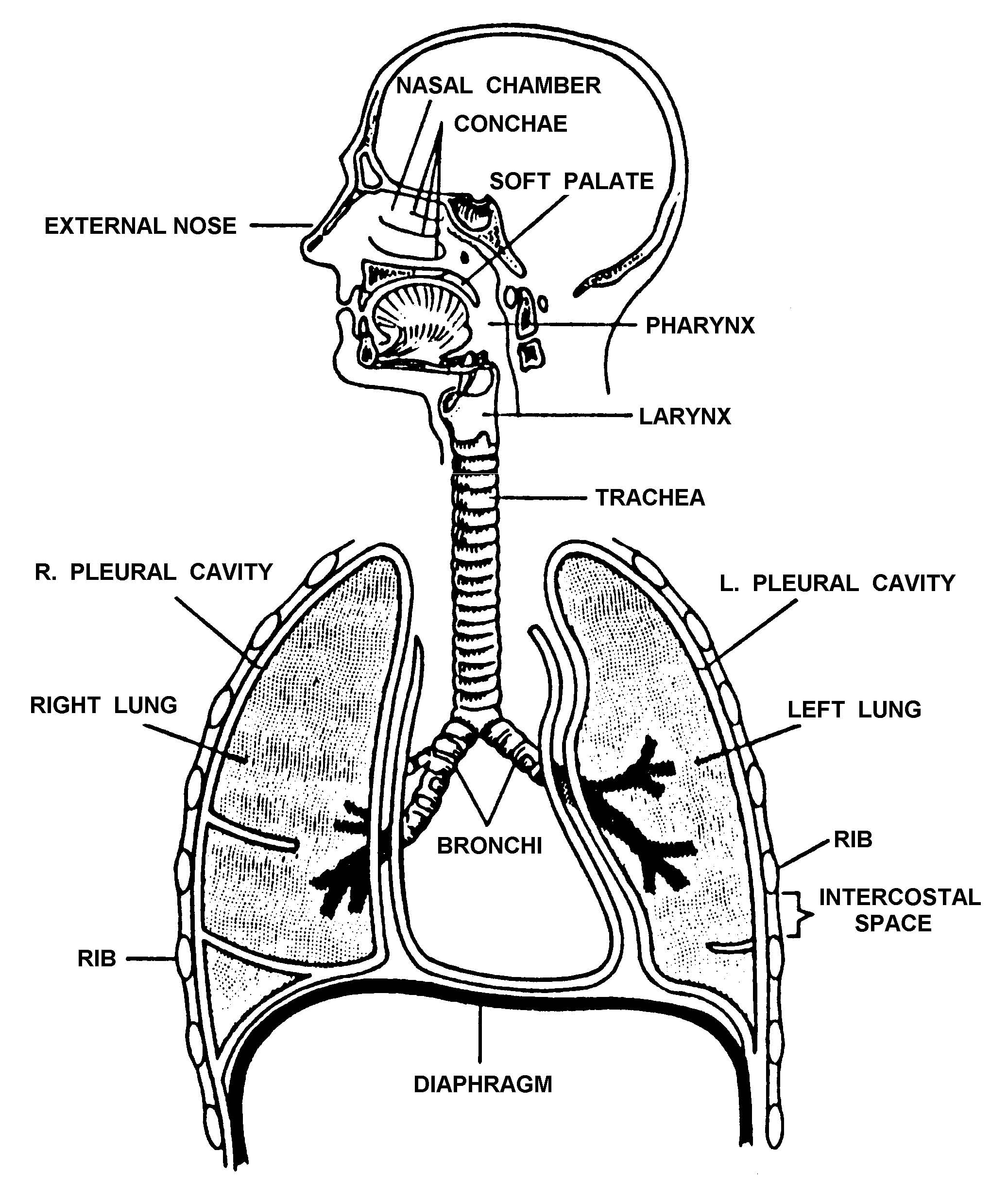 Unlabelled Human Lung Diagram