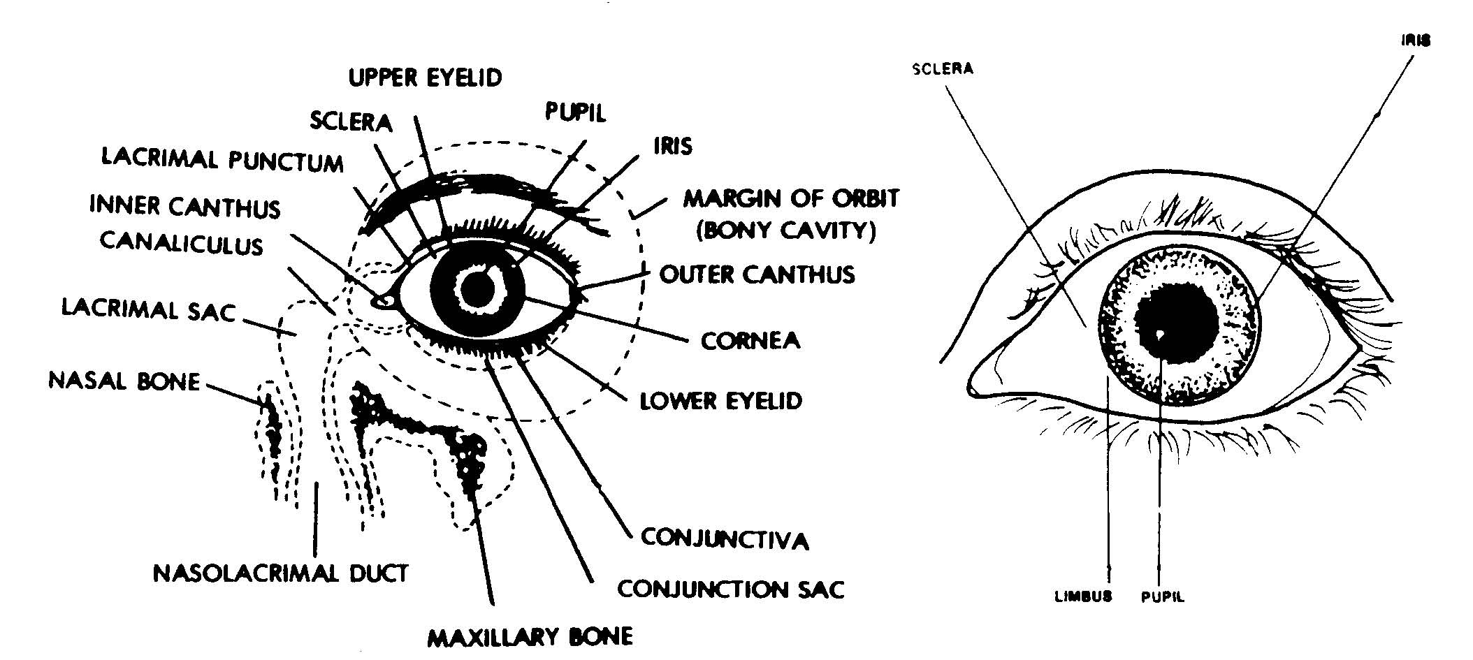 parts of the eyelid diagram curt 7 way rv blade wiring 1 3 eye