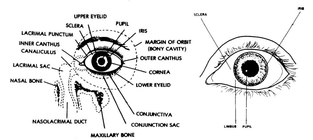 medium resolution of awesome anatomy eye see worksheet education com