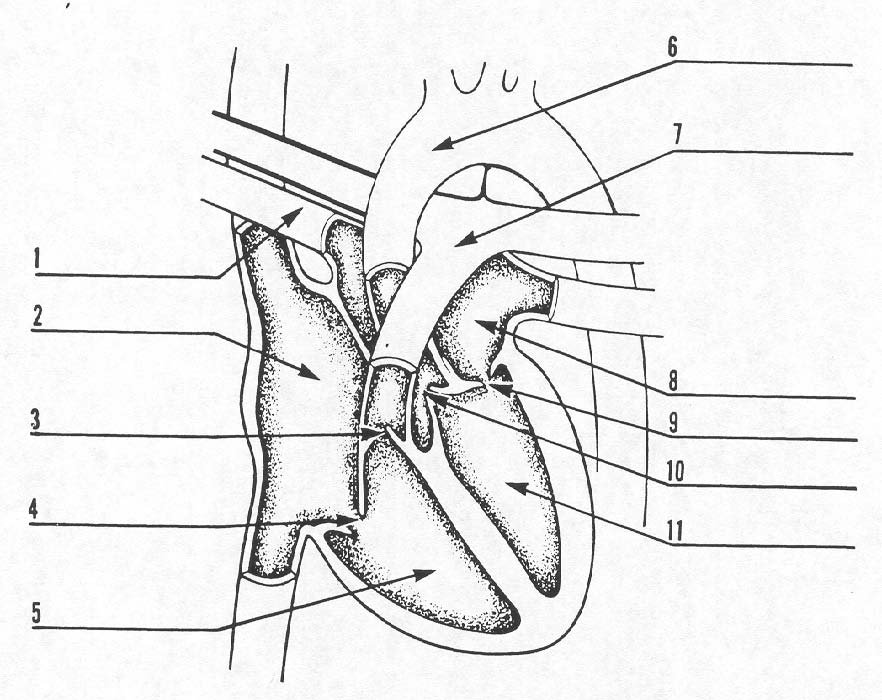 Blood Flow Through The Heart Blank Diagram