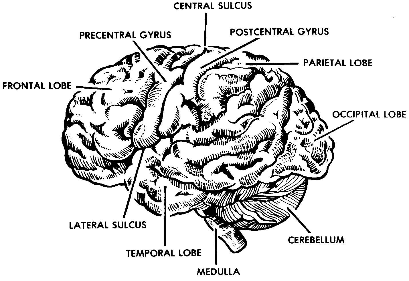 right lateral brain diagram tooth number 2 3 the
