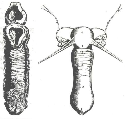 Reproductive organ illustrations by Vesalius and Vidus Vidius
