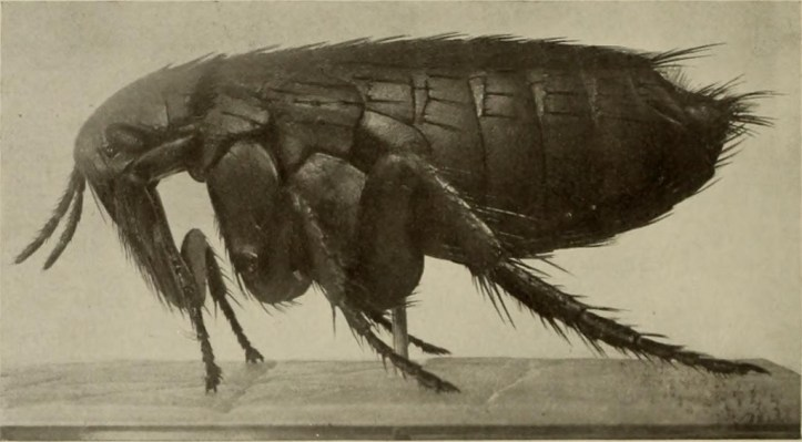 Photograph of a flea.