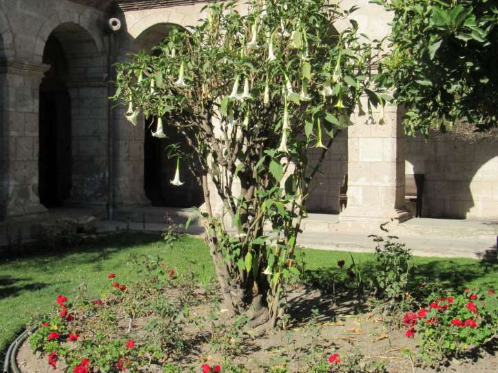 A floripondio tree with white cone-shaped flowers, surrounded by small red flowers, all in a courtyard.