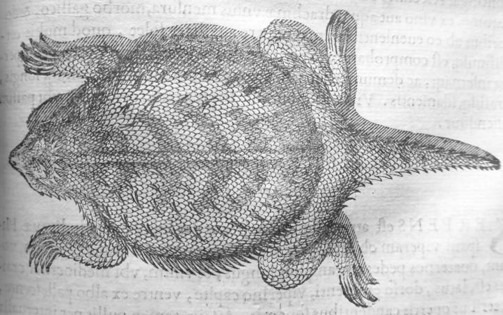 Top-down black and white illustration of a wide-bodied lizard.