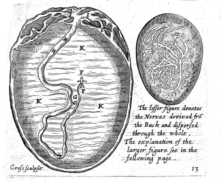 Illustration of a womb showing a very small, fully formed human form in the center with the umbilical cord running from it to the exterior wall of the womb.
